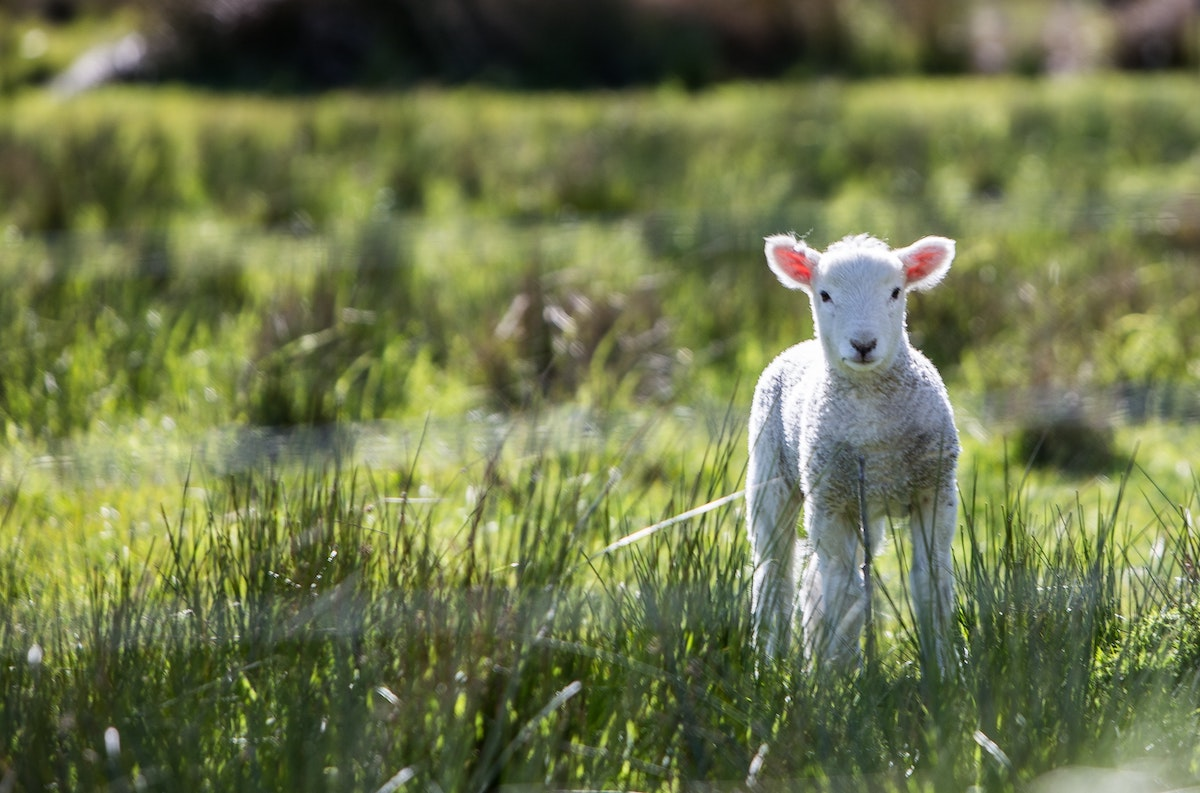 pic of a young lamb